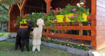 Alpaki + Kasia = Alpakasia. Spacery i warsztaty z alpakami